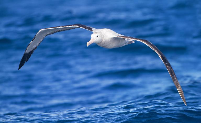 One source of infrasound is the ocean waves crashing together or hitting coastlines. Perhaps this type of infrasound produces some kind of acoustic map which albatross use to find their way. (Photo: Wikipedia)