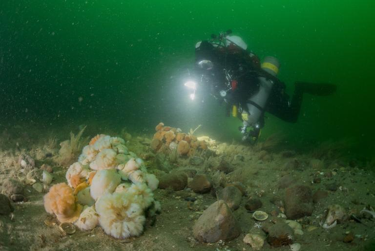 A diver inspects the seabed at Borkumer Stones. (Photo: Udo van Dongen / Stichting de Noordzee)