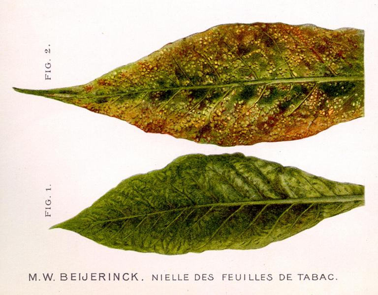 The tobacco mosaic virus causes mosaic-like spots on tobacco leaves  (Photo: Science Centre TU Delft)